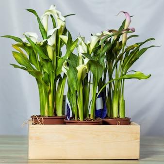 Arum lilia kwiat roślin z niebieską przestrzenią