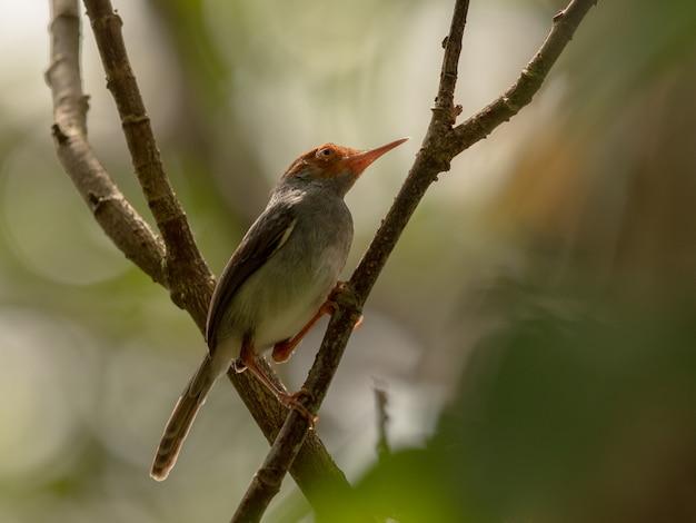 Ashy tailorbird, orthotomus ruficeps, siedzi na gałęzi w lesie