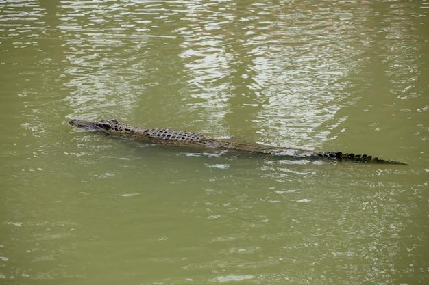 Asia krokodyl w rzece