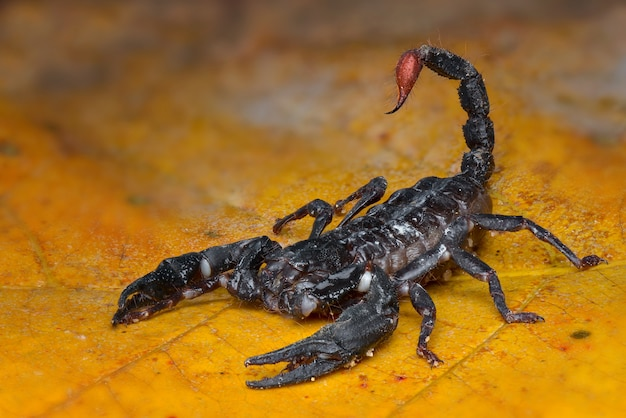Asian forest scorpion na liściu