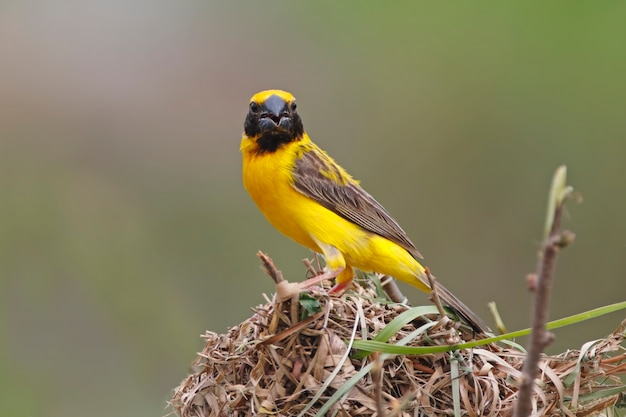 Asian golden weaver ploceus hypoxanthus male birds building the nest