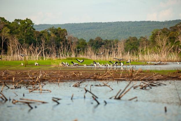 Asian openbill lub azjatycki bocian openbill na drzewach w naturze.