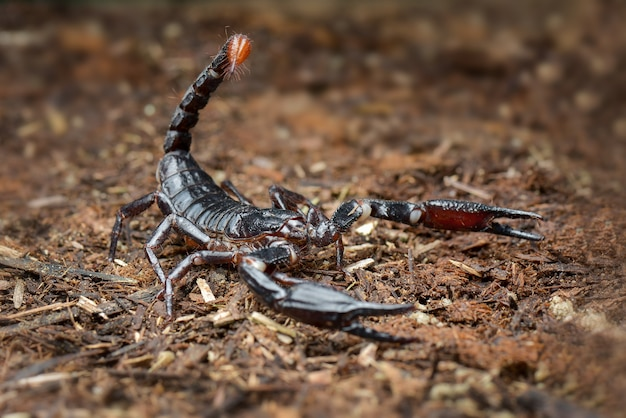Asian scorpion forest w tropikalnym ogrodzie
