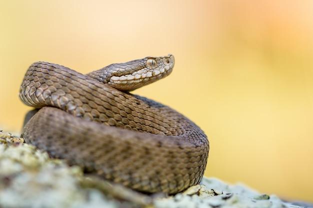 Asp viper, vipera aspis w naturze.