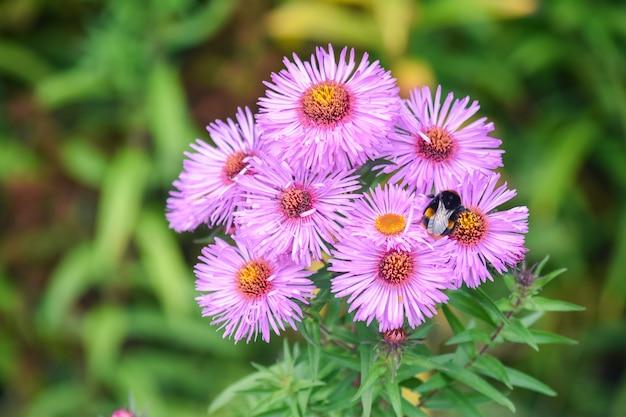 Aster amellus, kwiaty stokrotek europy i wielka pszczoła.