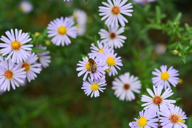 Aster amellus kwiaty w ogrodzie