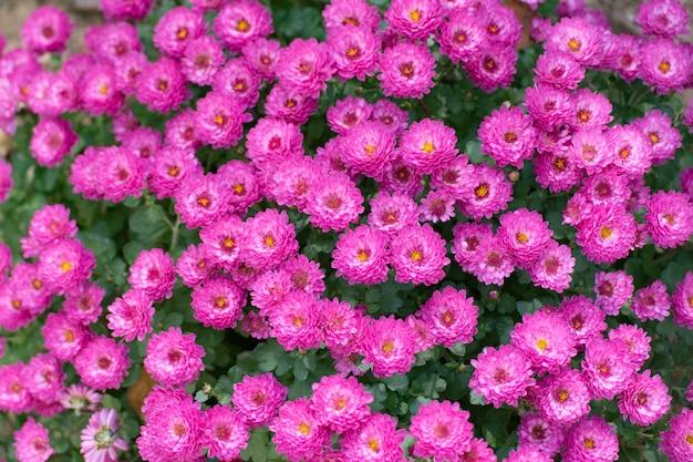 Aster, zielnik na wschodzie. pszczoły na małych fioletowych jesiennych kwiatach