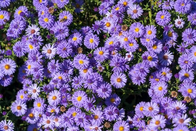 Astry kwitnące w ogrodzie w moldovita