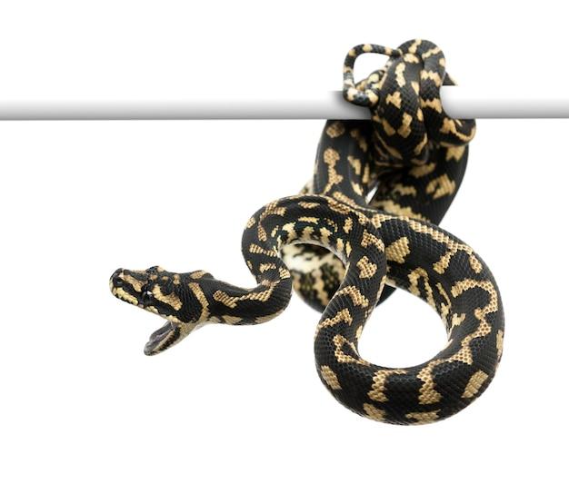 Atakujący pytona z dywanu w dżungli, morelia spilota cheynei przeciwko białej przestrzeni