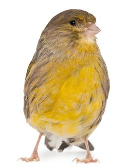 Atlantic canary serinus canaria na białym tle