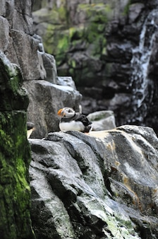 Atlantycki puffin dennego ptaka pingwin nad falezami