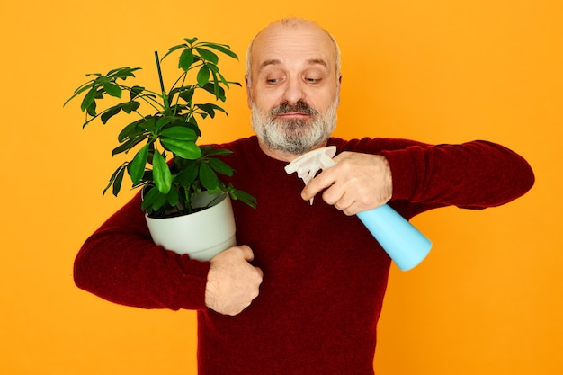 Atrakcyjny energiczny starszy mężczyzna z łysą głową i siwą brodą spryskuje wodą roślinę doniczkową, nawilżając liście w celu usunięcia kurzu. starszy emeryt płci męskiej uprawiający rośliny ozdobne na emeryturze