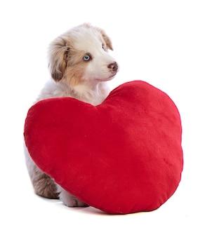 Australian shepherd puppy z czerwonym sercem na walentynki na białym tle
