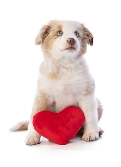 Australian shepherd puppy z czerwonym sercem na walentynki