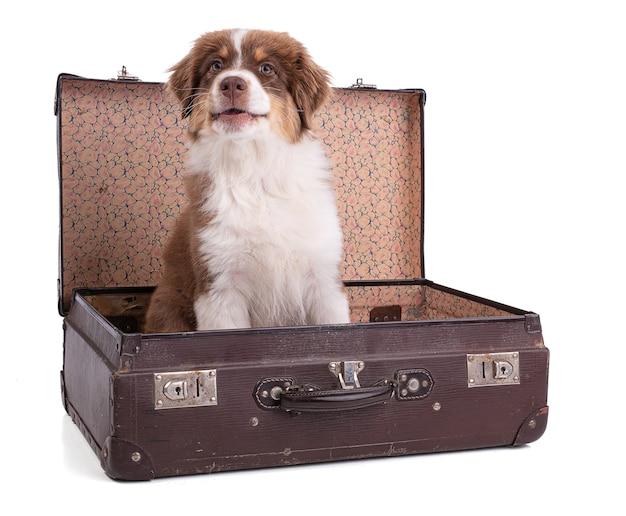 Australian shepherd puppy z walizką na białej powierzchni