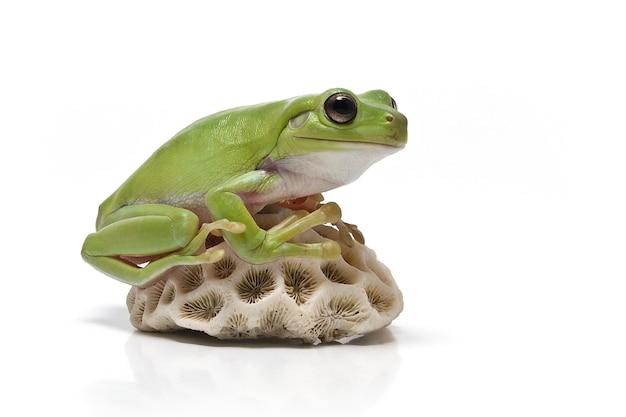 Australijczyk zielona drzewna żaba na białym tle