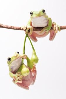 Australijczyk zielona drzewna żaba na gałązce