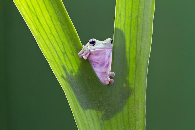 Australijczyk zielona drzewna żaba na liściu