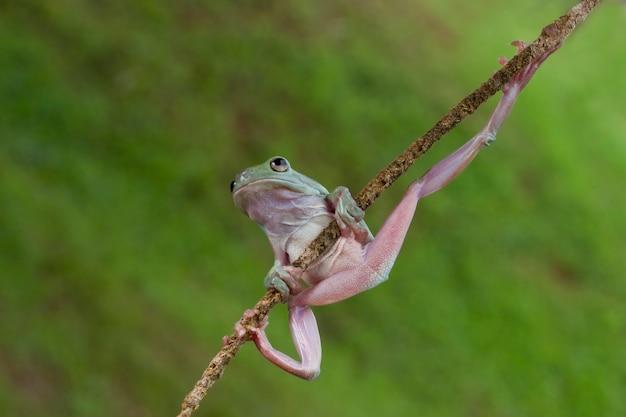 Australijczyk zielona drzewna żaba na naturalnym tle