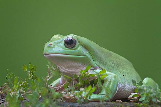Australijczyk zielona drzewna żaba na zielonym tle