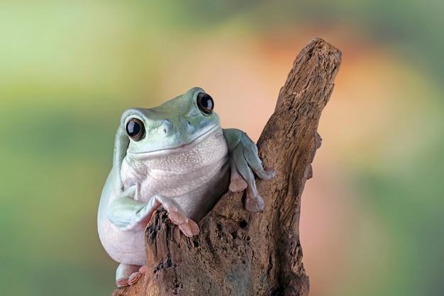 Australijska biała rzekotka drzewna na liściach przysadzista żaba na gałęzi