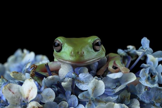 Australijska biała żaba drzewna zbliżenie na kwiat