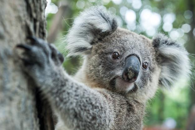 Australijska koala siedzi na drzewie, egzotyczny ikonowy aussie ssaka zwierzę w luksusowym dżungla tropikalnym lesie deszczowym