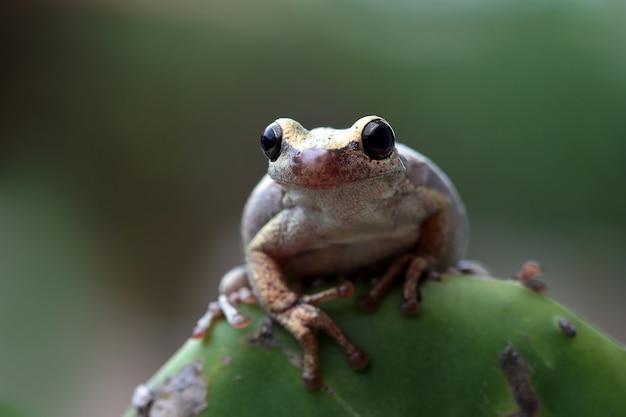 Australijska littoria różyczka żaba drzewna zbliżenie na zielonych liściach