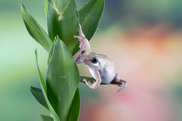 Australijska żaba drzewna zbliżenie na zielonych liściach pustynna żaba drzewna zbliżenie