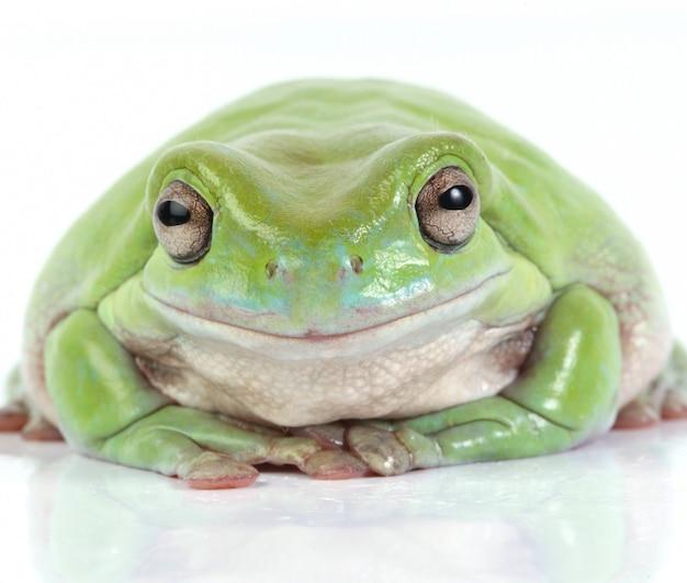 Australijska zielona żaba drzewna