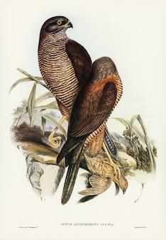 Australijski jastrząb (astur approximans) zilustrowany przez elizabeth gould