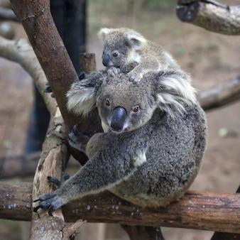 Australijski miś koala z jej dzieckiem patrząc aparatu