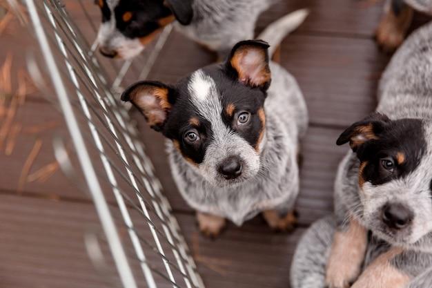 Australijski pies pasterski szczeniak odkryty. szczenięta na podwórku