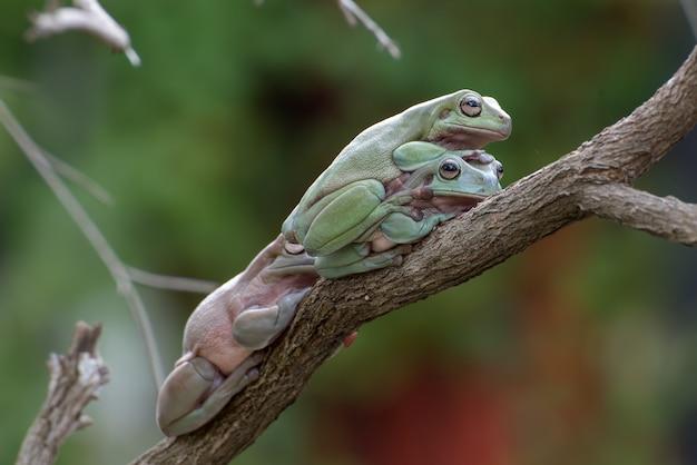 Australijskie białe żaby drzewne na gałęzi drzewa