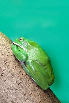 Australijskie żaby drzewne lub litoria