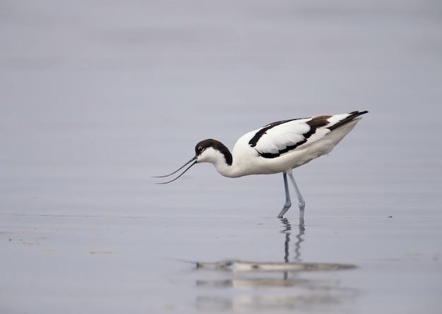 Avocet srokaty (recurvirostra avosetta) w naturalnym środowisku w wodzie i na brzegach ujścia rzeki