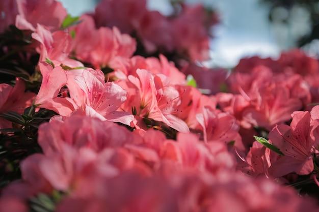 Azalia fioletoworóżowe kwiaty z bliska piękny kwiat amarylisa lub królowej flamencoróżowy kwiat