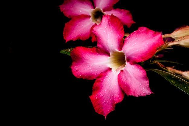 Azalia kwiat na czarnym tle.
