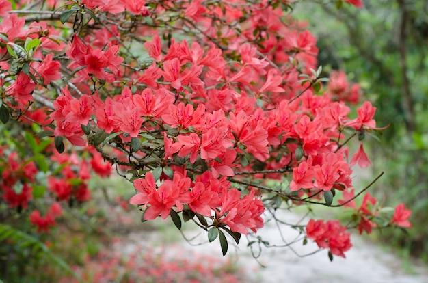 Azalia kwitnąca na drzewie (rhododendron simsii planch)