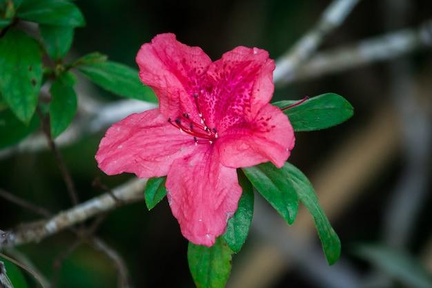 Azalia kwitnie w pięknych zimowych porach roku. azalia to nazwa rośliny kwitnącej z rodzaju rhododendron.