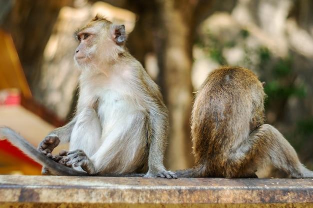 Azja małpa przyroda, opieka i koncepcja rodziny