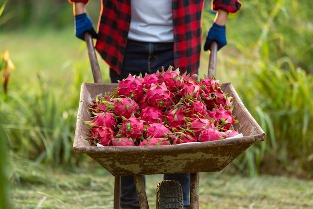 Azjatyccy rolnicy z wózkiem smoka owoc w ogródzie