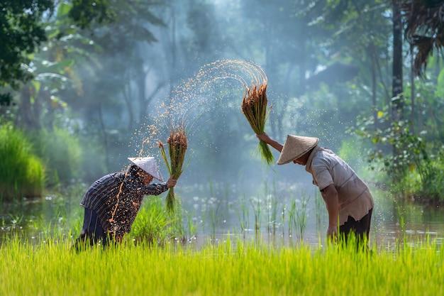 Azjatyccy średniorolni przeszczepu ryż rozsady w ryżu polu, rolnika flancowania ryż w porze deszczowa.