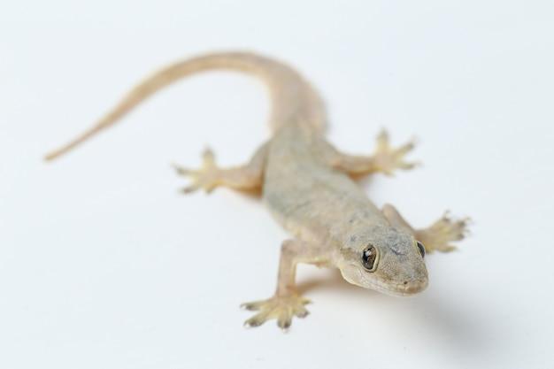 Azjatycka jaszczurka domowa lub gekon zwyczajny na białym tle