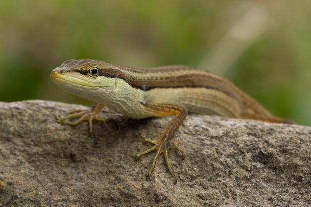 Azjatycka jaszczurka trawiasta lub jaszczurka trawiasta długoogonowa