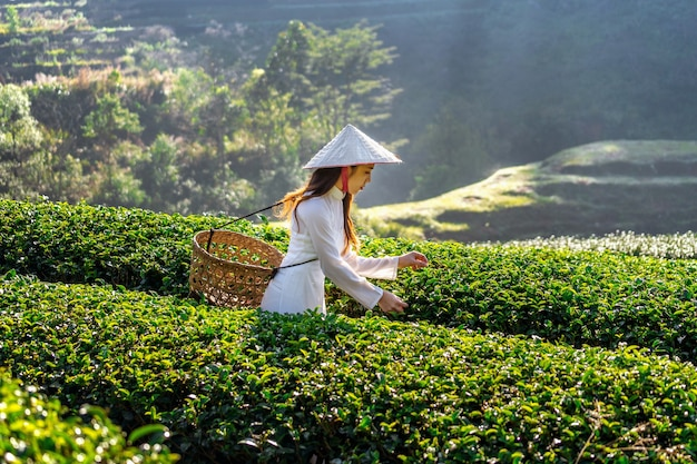 Azjatycka kobieta ubrana w tradycyjną kulturę wietnamu w polu zielonej herbaty.