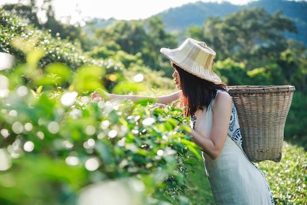 Azjatycka kobieta uprawa zieloną herbatę.