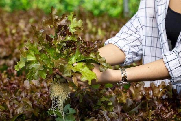 Azjatycka kobieta zbiera sałatkę ze świeżych czerwonych warzyw w gospodarstwie rolnym systemu roślin hydroponicznych w tajlandii