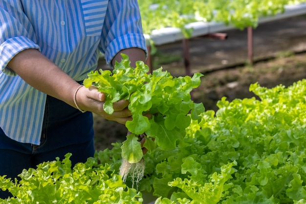 Azjatycka kobieta zbiera sałatkę ze świeżych warzyw w gospodarstwie rolnym systemu roślin hydroponicznych w tajlandii
