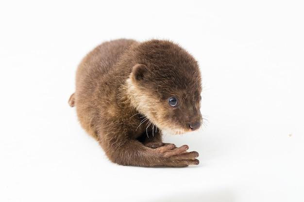 Azjatycka wydra z małymi pazurami lub po prostu wydra z małymi pazurami na białym tle